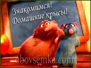 домашние крысы-2